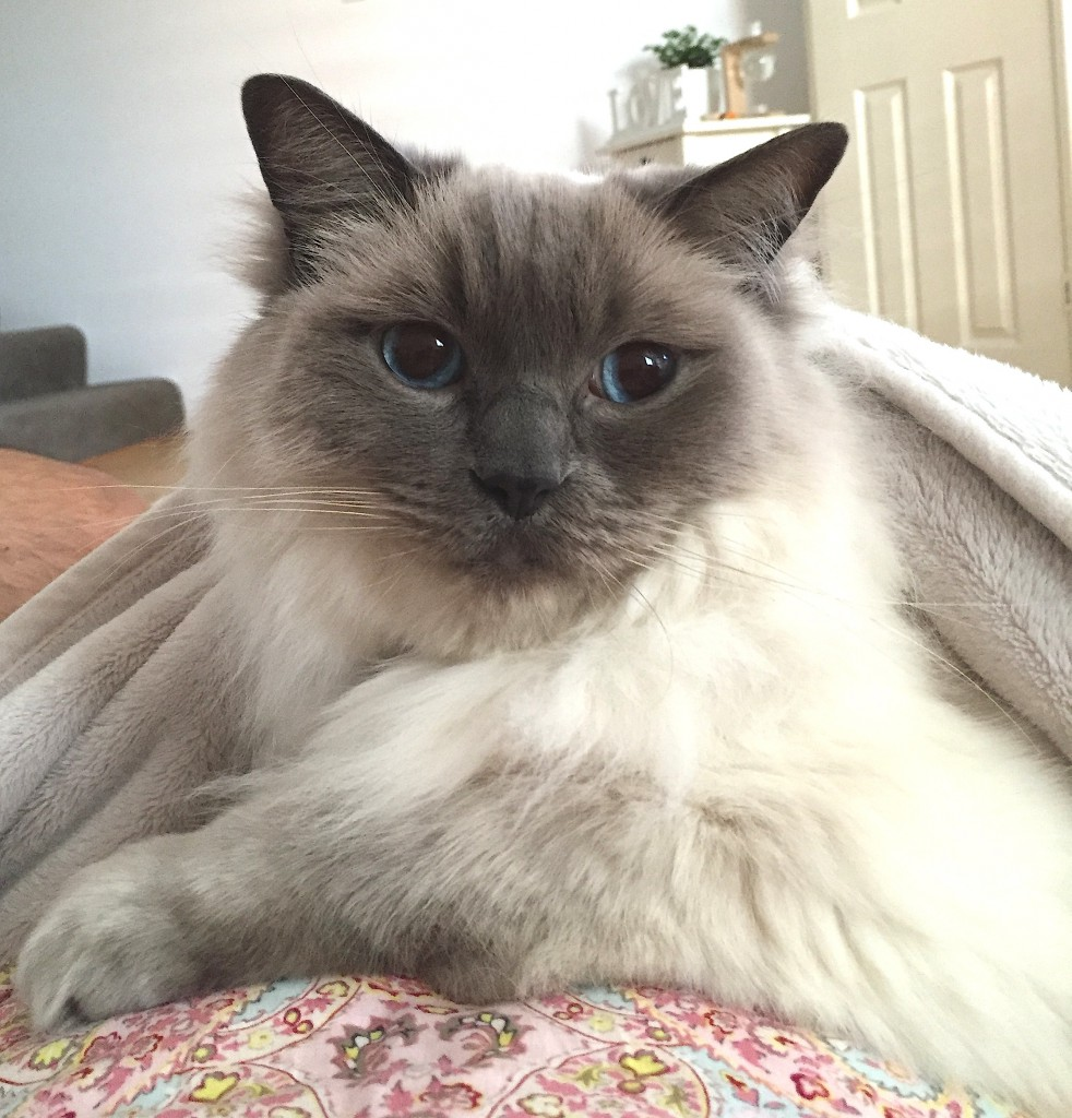Tank the Ragdoll when he's unimpressed